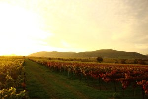 gloryvineyard